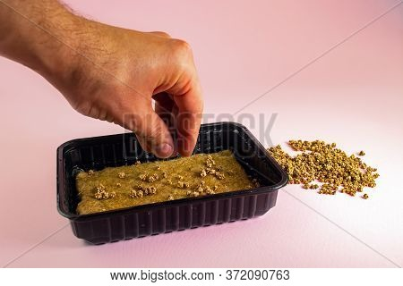 Sowing Microgreen Seeds In A Plastic Container With A Linen Mat