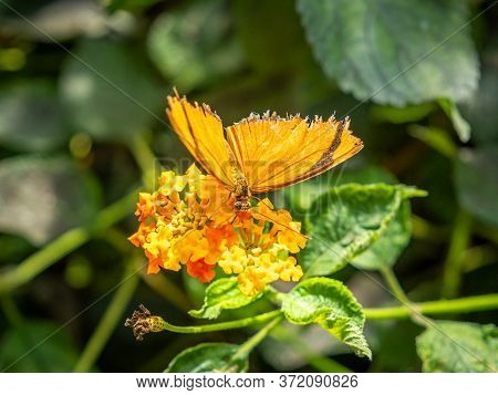 Julia Butterfly (dryas Iulia) Taking Nectar From A Flower