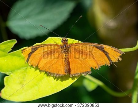 Julia Butterfly (dryas Iulia) Perched On A Leaf