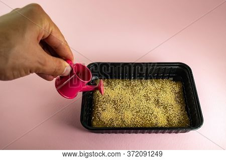 Spraying Microgreen In A Plastic Container With A Spray Bottle