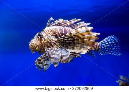 Zebra Lionfish, Red Lionfish, On A Blue Background. Marine Life, Exotic Fish, Subtropics.