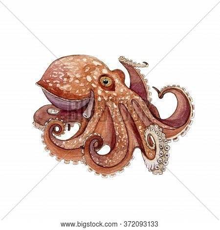 Octopus Watercolor Painted Image. Hand Drawn Underwater Aquatic Animal. Wild Octopus With Eight Tent