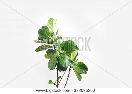 Green Leaves Of Fiddle-leaf Fig Tree (ficus Lyrata). Fiddle Leaf Fig Tree On White Background.