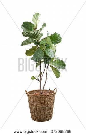 Green Leaves Of Fiddle-leaf Fig Tree (ficus Lyrata). Fiddle Leaf Fig Tree In Wicker Basket Isolated