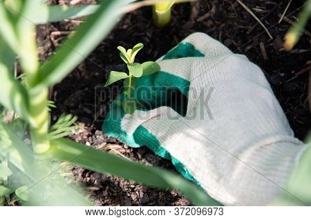 Womans Hand In A White Garden Glove Pulling Weeds. Gardening, Weed Control Concept