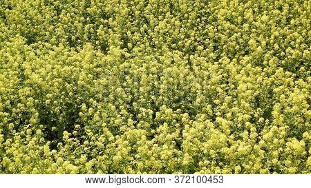 White Mustard Grows On The Field. Mustard Field Against A White Sky. Herbaceous Plants Of The Genus