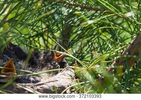 Young Wild Chicks With Gray Plumage In A Nest On A Coniferous Green Tree With Covered Eyes And Wide