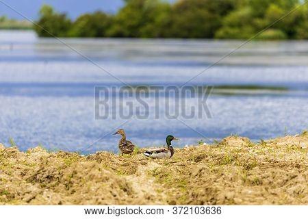 The Couple Of Mallard Anas Platyrhynchos Dabbling Duck Waterfowl Birds.