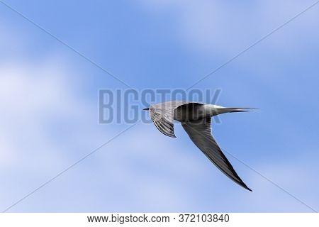 A Whiskered Tern In Flight (chlidonias Hybridus)