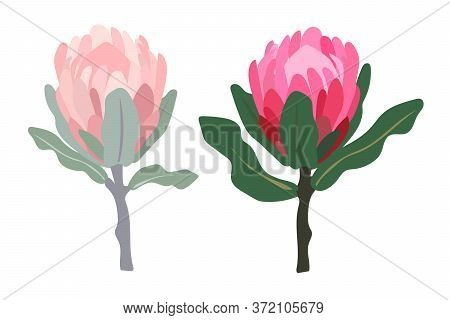 Set Realistic Vector Illustration Of Protea Flowers. Tropical King Flower Protea In Bloom. Design Fo