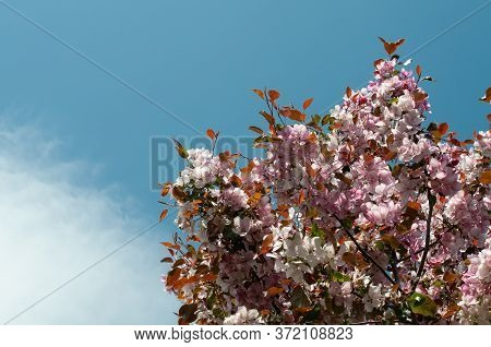 Blue Sky And Fluffy White Cloud Over Pink Flowering Oriental Cherry Tree