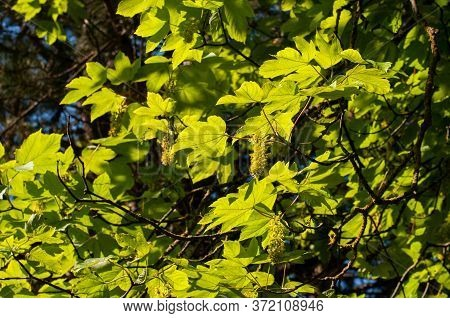 Twigs Of A Sycamore Maple Tree In Springtime With Green Leaves In Sunlight And Hanging Flowers