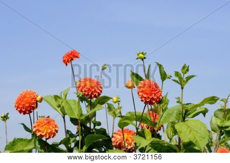 Orange Dahlias