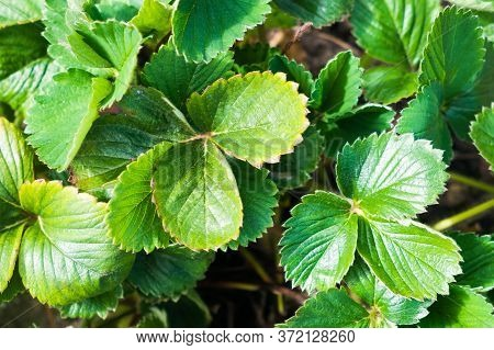 Leaves Of Strawberry Texture, Background With Green Leaves.