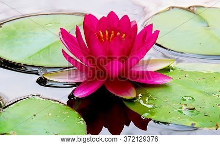 Bright Pink Lotus Flower With Golden Stamens Rises Over Green Leaves Of Water Lilies And Is Reflecte