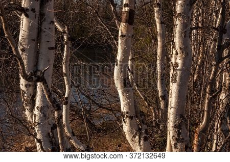 Birch Trees Without Leaves In Early Spring. Small River Flow Across Forest With Light In Sundown Lig