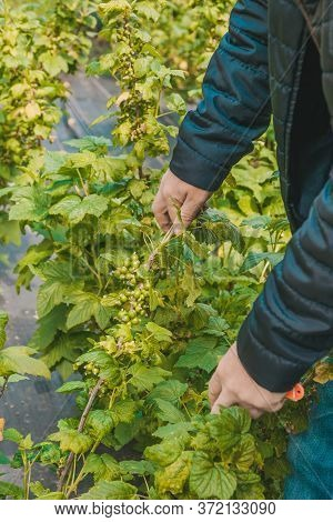 Unripe Green Currant Bush In The Spring. Agrofiber On A Farm For Growing Shrubs.
