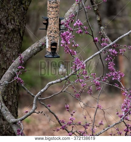 A Little Tufted Titmouse Is Perched Under The Seed Feeder On A Pretty Blooming Redbud Tree In Missou