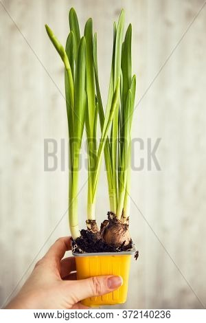 Green With Bulbs Or Green Onion On The Light Background