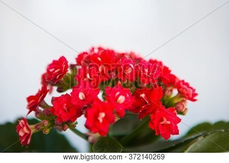 Small Red Flowers Of Kalanchoe Against The Light Background