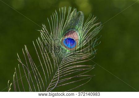 Beautiful Peacock Feather - Pavo Cristatus. Nice Bokeh.