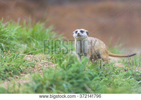 Meerkat - Suricata Suricatta In A Group In Its Natural Habitat Plays In A Group. Wild Photo With Nic