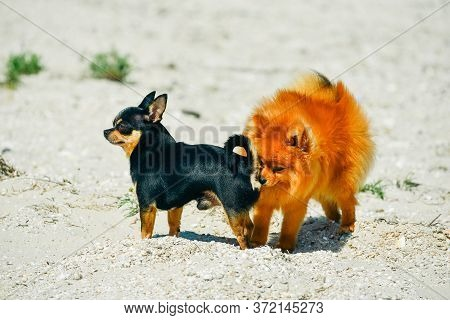 Pomeranian Spitz And Chihuahua. Spitz And Chihuahua On The Beach. Small Dog Breeds