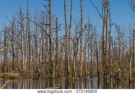 Dead Trees In Water. Swamp Forrest In Germany.
