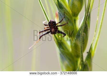 Small Spider Crawls On A Green Blade Of Grass. Arthropod And Arachnid Macro Shot. Predator In The Wi