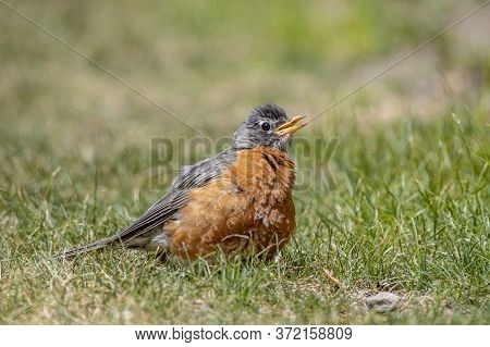 American Robin Does Not Become Independent. Their Parents Will Continue To Feed Them After The First