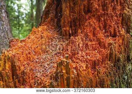Western Red Cedar - Amazing Trees In The Redwoods