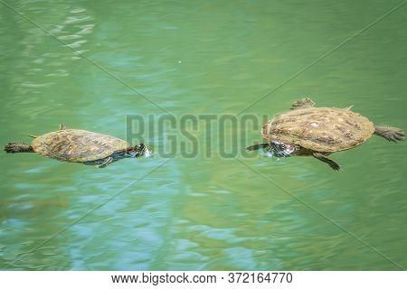 Two Red-eared Turtles Swim In The Pond With Turquoise Water. Red-eared Slider, Trachemys Scripta Ele