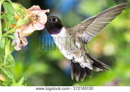 Black-chinned Hummingbird Searching For Nectar Among The Orange Flowers