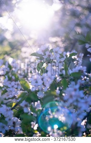 Apple Or Cherry Flowers At Sunny Blooming Orchard. Beautiful Spring Floral Background. Manual Focus