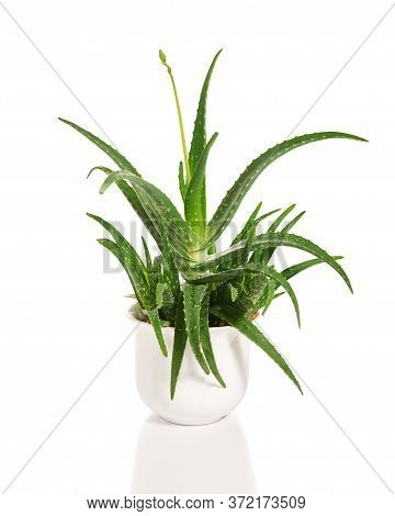 Aloe Vera In White Pot, Growing Plant Isolated On White Background. Beautiful Green Aloe Succulent P
