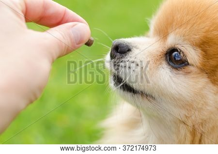 Dog Training On Green Natural Background. Close-up Pomeranian Spitz Performing Obedience And Getting