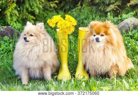 Pomeranian And German Spitz Are Sitting Near Yellow Rubber Boots, Bouquet Of Dandelion Flowers. Dog