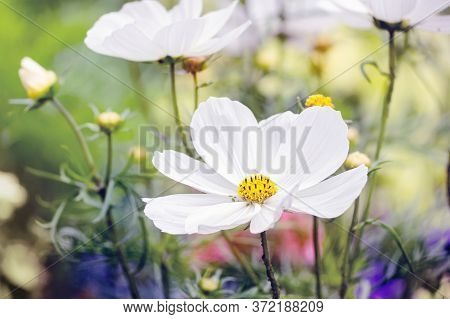 White Cosmos Flowers In The Garden. Close View.