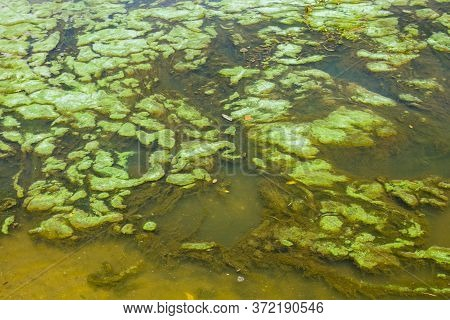Green Algae In The Surface Of Water