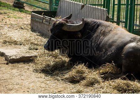 Portrait Of Asiatic Water Buffalo (bubalus Arnee)