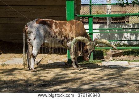 Ankole Watusi Cattle  (bos Taurus Macroceros) In Paddock