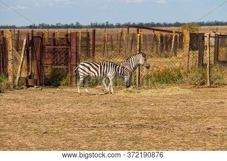 Plains Zebra (equus Quagga, Formerly Equus Burchellii), Also Known As The Common Zebra Or Burchell's