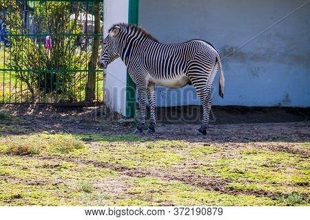 Grevy's Zebra (equus Grevyi) In A Paddock