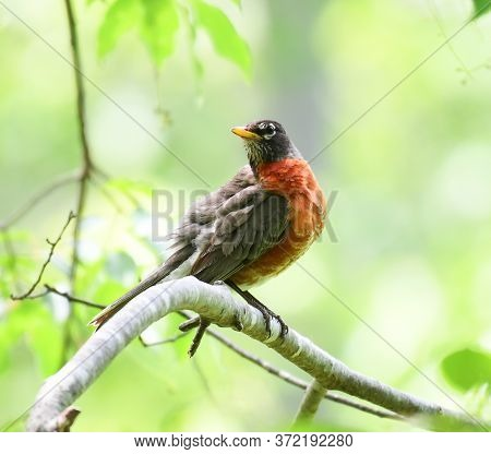 Close Up On American Robin On The Tree Branch