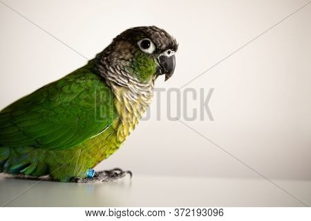 Captive Green Cheek Conure Parrot With A Blue Leg Ring (pyrrhura Molinae)
