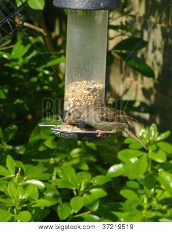 Sparrow bird on feeder