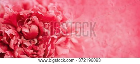 Red Peony Flower Banner. Natural Flowery Backdrop With Petals Of Peony Close Up. Macro Photography.