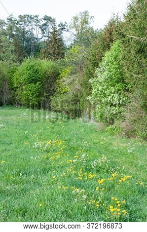 A Meadow With Blooming Wildflowers At The Edge Of A Mixed Forest With Deciduous And Coniferous Trees