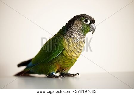 Captive Green Cheek Conure With A Blue Leg Ring(pyrrhura Molinae)