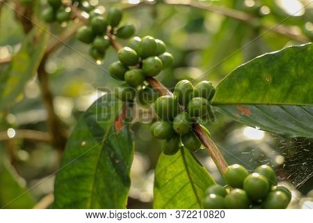 Arabica Coffee Beans. Coffea Arabica Green Coffee Beans On The Tree. Toraja Arabica Stock Photograph